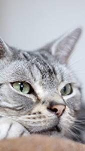 Картинка Кошки Крупным планом Взгляд животное