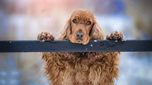 Картинки Собаки Спаниель Голова Лапы Взгляд Печаль Животные
