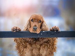 Картинки Собаки Спаниель Голова Лапы Взгляд Печаль