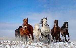 Фотография Лошади Бегущий Животные