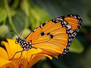 Картинки Бабочки Вблизи Danaus chrysippus, plain tiger животное