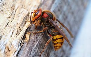 Картинки Насекомое Вблизи Макросъёмка Wasp животное