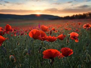 Картинка Мак Поля Вечер Цветы