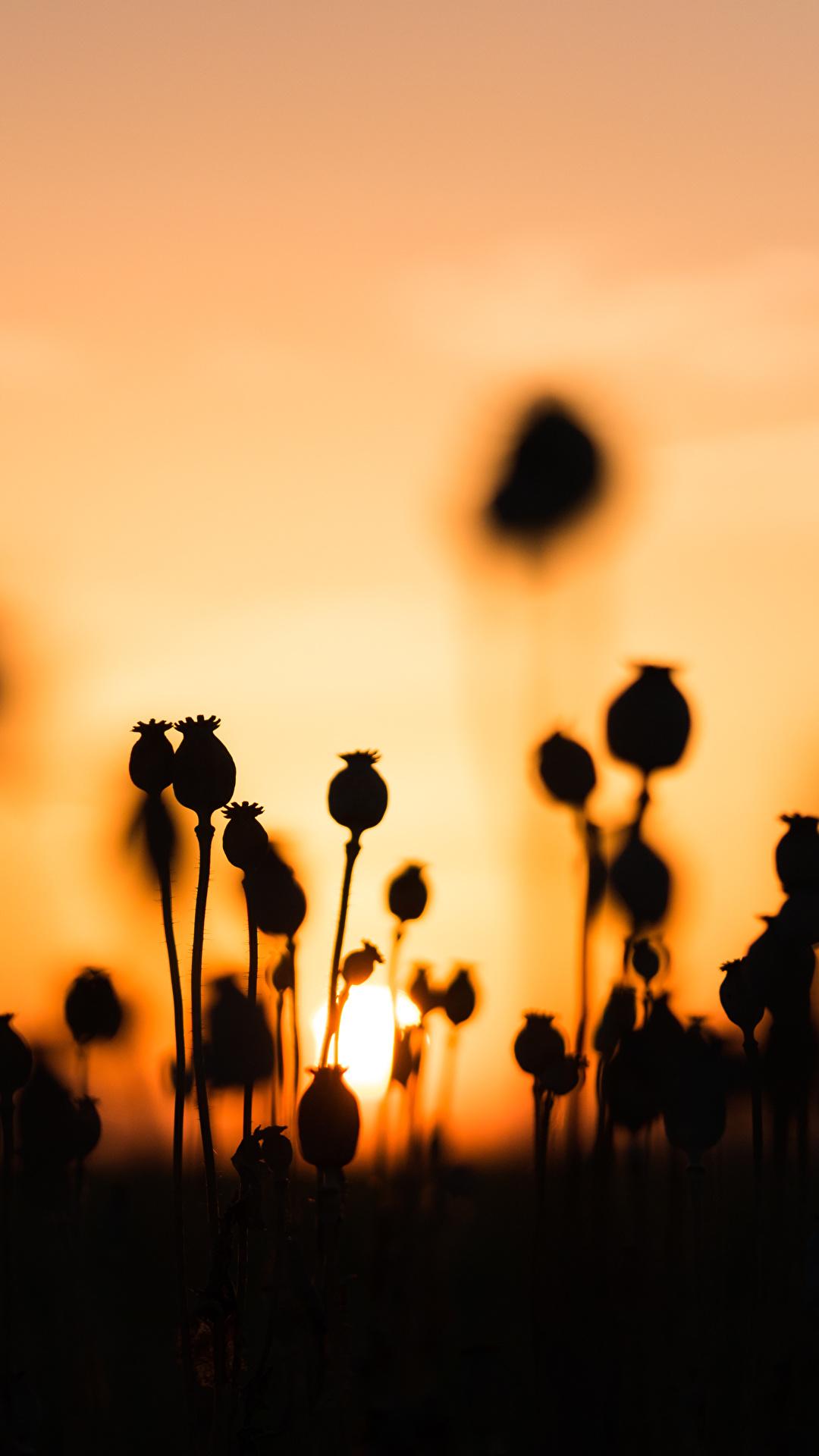 Картинки силуэта Природа мак рассвет и закат 1080x1920 для мобильного телефона Силуэт силуэты Маки Рассветы и закаты