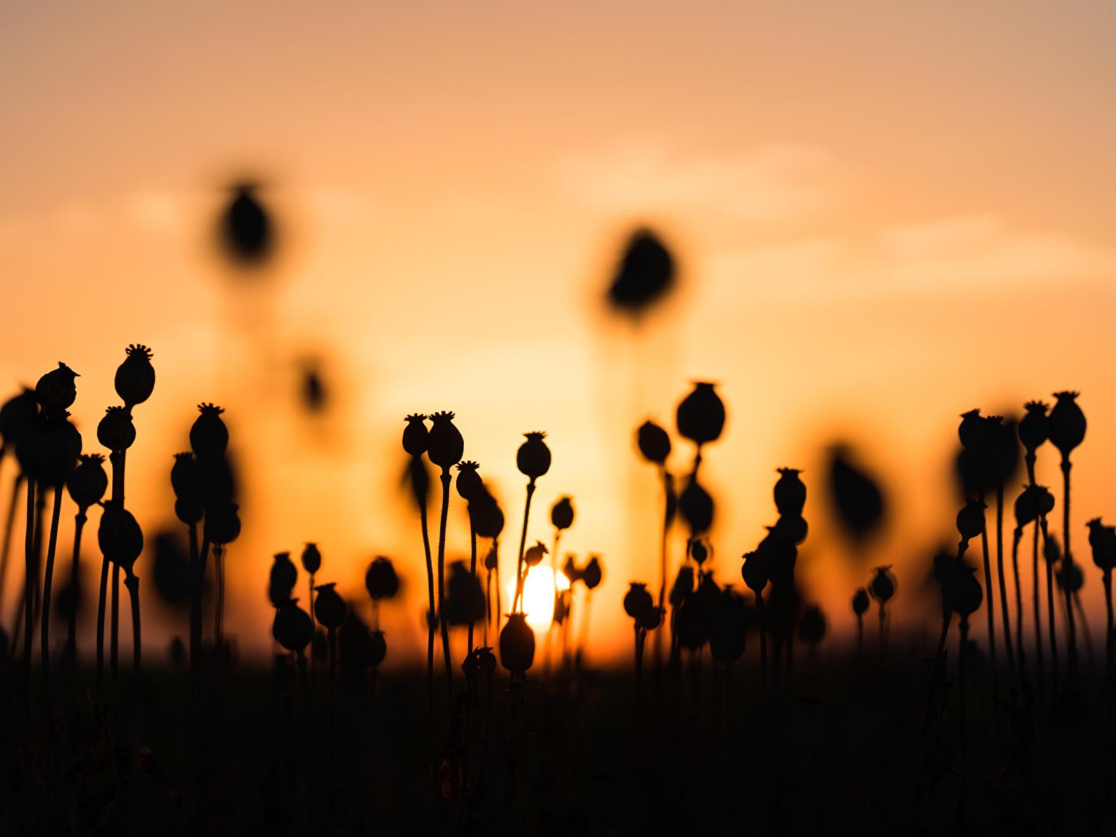 Картинки силуэта Природа мак рассвет и закат 1600x1200 Силуэт силуэты Маки Рассветы и закаты