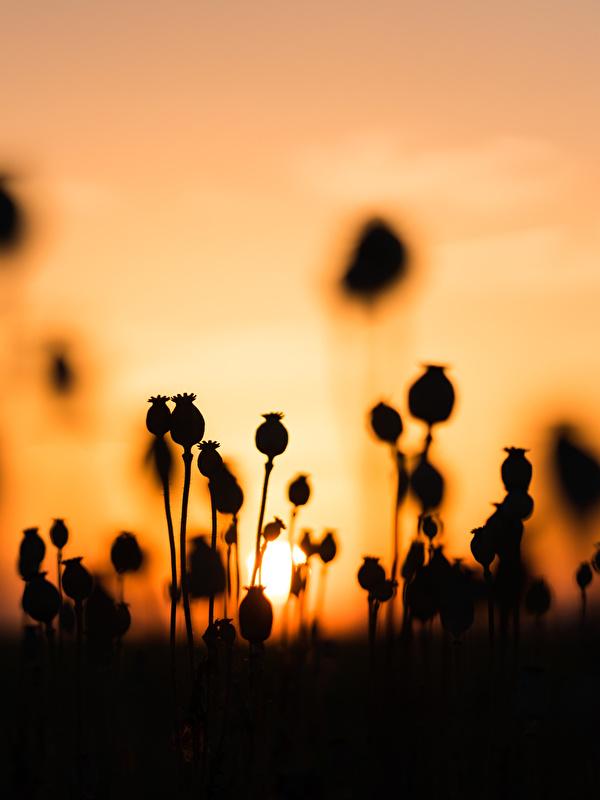 Картинки силуэта Природа мак рассвет и закат 600x800 для мобильного телефона Силуэт силуэты Маки Рассветы и закаты
