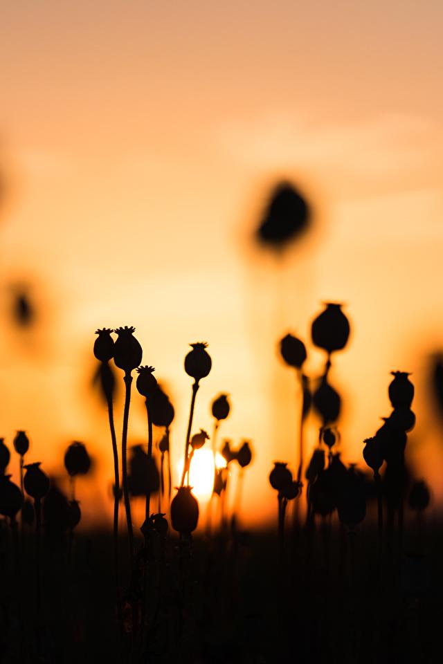 Картинки силуэта Природа мак рассвет и закат 640x960 для мобильного телефона Силуэт силуэты Маки Рассветы и закаты