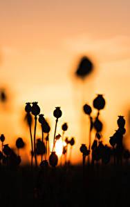 Картинки Рассвет и закат Мак Силуэта Природа