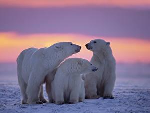 Обои для рабочего стола Рассветы и закаты Медведи Полярный Снегу Три Семья животное