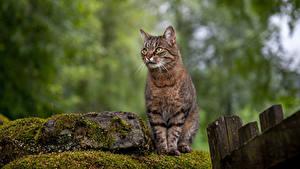 Фотография Коты Камень Боке Мхом Сидит Животные