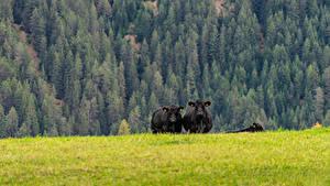 Фотография Луга Коровы Лес Трава