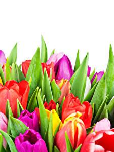 Картинки Тюльпаны Вблизи Белом фоне Разноцветные цветок