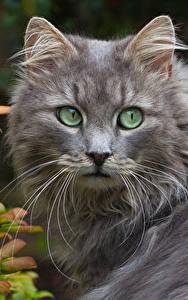 Фотография Кошки Смотрит Усы Вибриссы