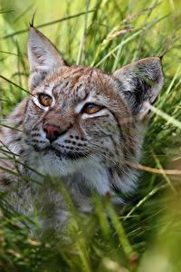 Картинки Рыси Трава Смотрит Животные