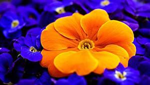 Картинка Вблизи Макро Примула Оранжевый Цветы