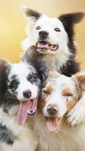 Фото Собаки Втроем Язык (анатомия) Бордер-колли Животные