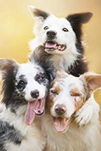 Фото Собаки Втроем Языком Бордер-колли Животные