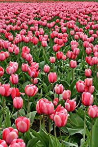 Обои Поля Тюльпаны Много Розовых Цветы