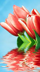 Картинка Тюльпан Крупным планом Красный Отражается Цветы