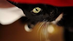 Картинка Кот Глаза Взгляд Усы Вибриссы Животные