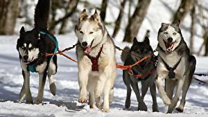 Фотография Собаки Зимние Хаски Снег Бег