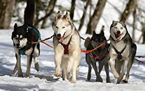 Фотография Собаки Зимние Хаски Снег Бег Животные