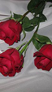 Фотографии Роза Вблизи Красных Трое 3 Цветы