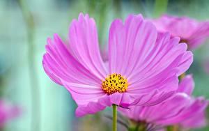 Обои Вблизи Космея Розовые Цветы