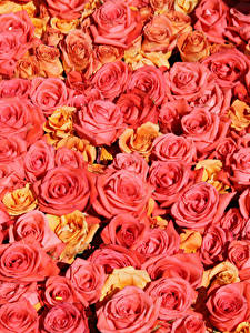 Обои Текстура Розы Розовые Цветы