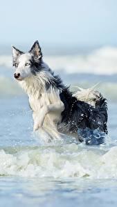 Картинка Волны Собаки Вода Бег Бордер-колли Животные