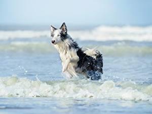 Картинка Волны Собаки Вода Бег Бордер-колли