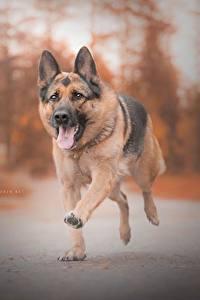 Фотографии Собака Немецкая овчарка Бежит Язык (анатомия)