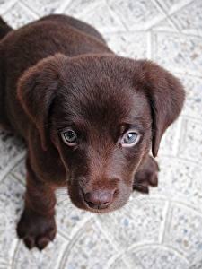 Обои для рабочего стола Собаки Щенок Лабрадор-ретривер Смотрят Сверху Животные