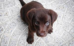 Картинка Собаки Щенок Лабрадор-ретривер Смотрят Сверху