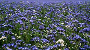 Картинки Лето Луга Боке Phacelia Цветы Природа