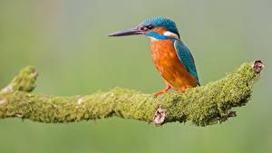 Картинка Птицы Обыкновенный зимородок Сидит Ветвь Мох Животные