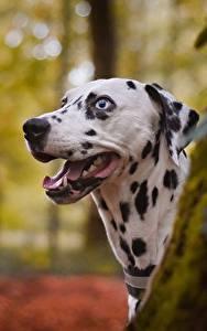 Фотографии Собаки Далматинец Головы Язык (анатомия)