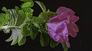 Фотография Розы Крупным планом Розовые Лист Цветы