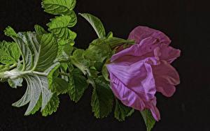 Фотография Розы Крупным планом Розовый Листья