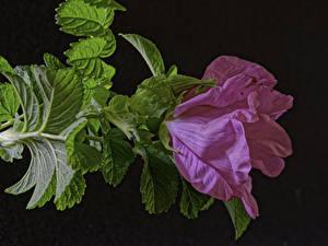 Фотография Роза Крупным планом Розовые Лист Цветы