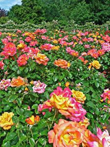 Фотографии Англия Парки Роза Много Лондон Кустов Regents Park Queens Garden цветок