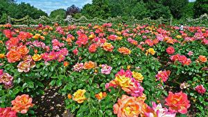 Фотографии Англия Парки Розы Много Лондон Кустов Regents Park Queens Garden Цветы