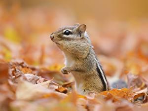 Фотография Грызуны Бурундуки Размытый фон Лист Животные