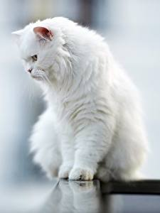 Обои Коты Размытый фон Сидит Белая Пушистые