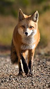 Картинка Лисы Боке Смотрят животное