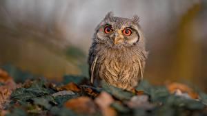 Картинки Совообразные Птицы Размытый фон Смотрят Ptilopsis leucotis животное