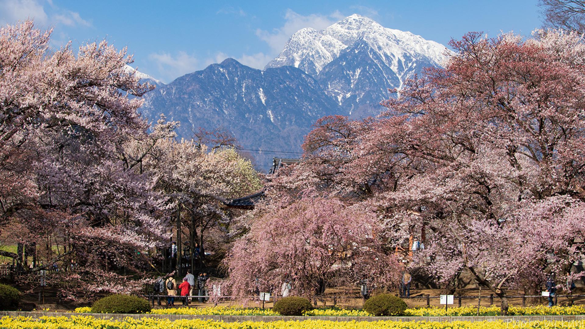 Фото Япония Hokuto Yamanashi Prefecture Горы Природа парк Цветущие деревья 1920x1080 гора Парки