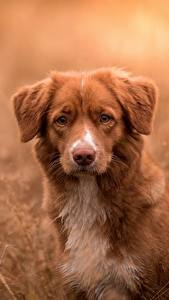 Обои Собаки Ретривер Новошотландский ретривер животное