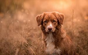 Обои Собаки Ретривер Новошотландский ретривер