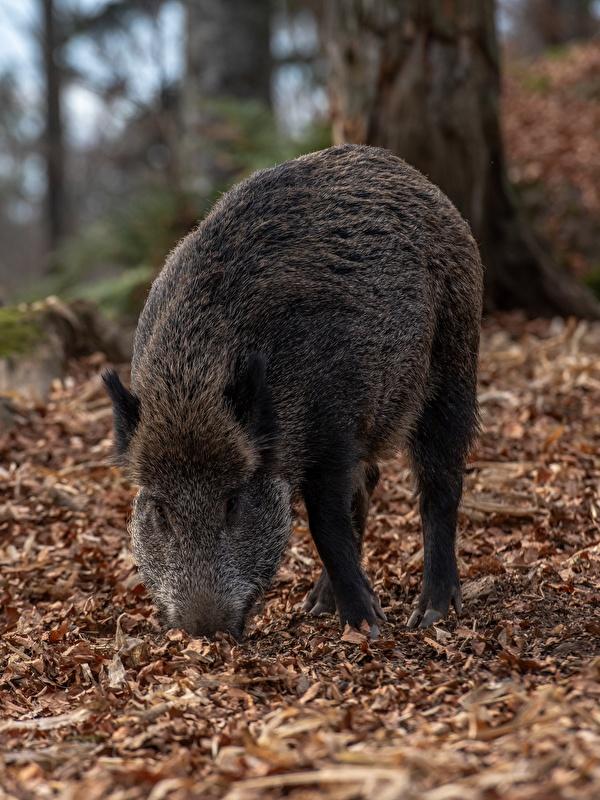 Фото Кабан Листья боке Осень животное 600x800 для мобильного телефона дикая свинья лист Листва Размытый фон осенние Животные